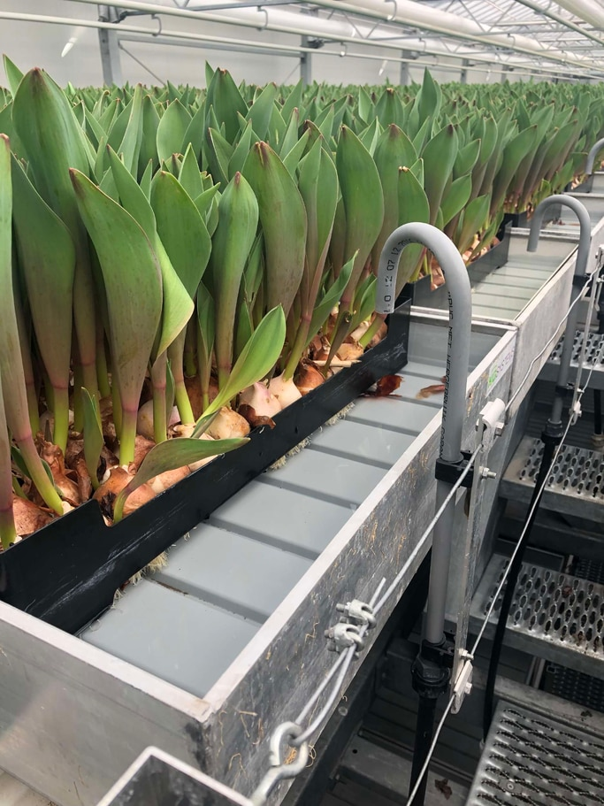Irrigation system in greenhouse for tulip bulbs